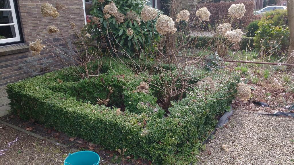 Het Buxus vak met Pluimhortensia's. De voorste hortensia is al gesnoeid.